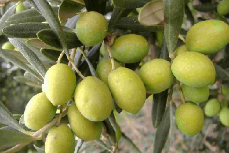 kahoku_olive005