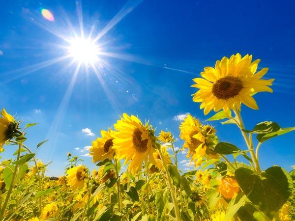 sunflowers01[1]