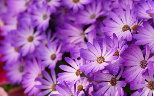 Purple-daisies-petals-flowers-macro-photography_1920x1200