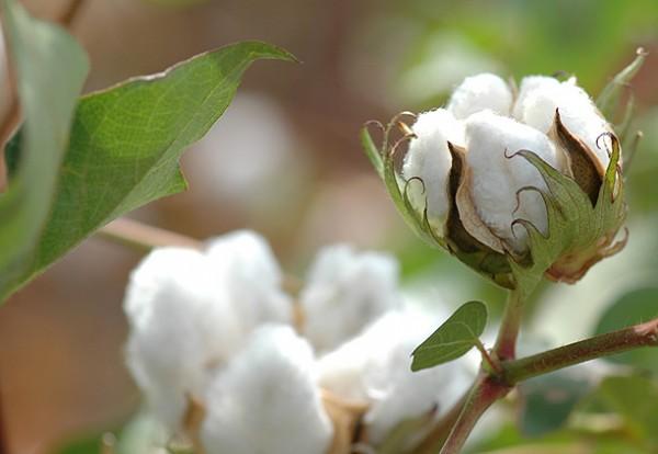 cottonphoto